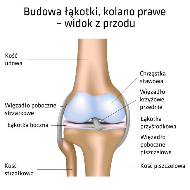 budowa-lekotki-kolano-prawe-widok-z-przodu